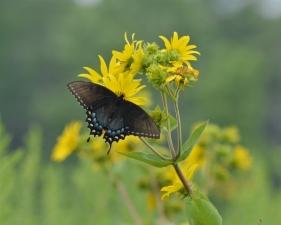 powellswallowtail (800x641)